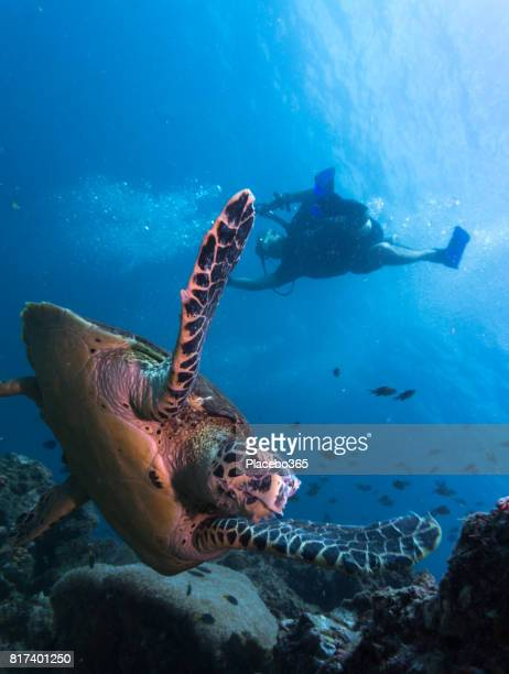 Diver and Endangered Species Hawksbill Sea Turtle (Eretmochelys imbricate).