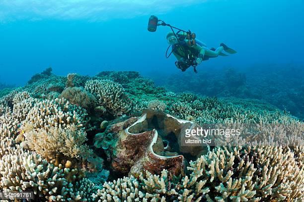 Diver and Giant Clam Tridacna Squamosa Micronesia Palau