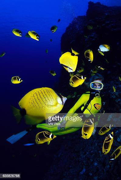Diver and schooling butterflyfish raccoon butterflyfish Chaetodon lunula and milletseed butterflyfish Chaetodon miliaris Hawaii