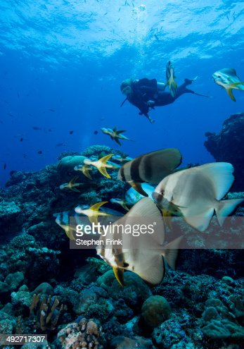 Diver and schooling Spadefish.
