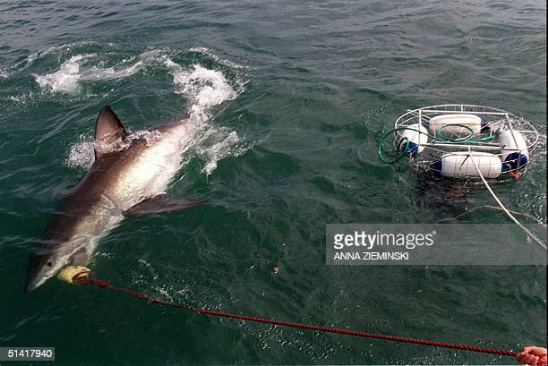 A diver clings 16 September to the side of a cage towed by a powerboat as a five meter Great White Shark thrashes its tail while it attacks bait...