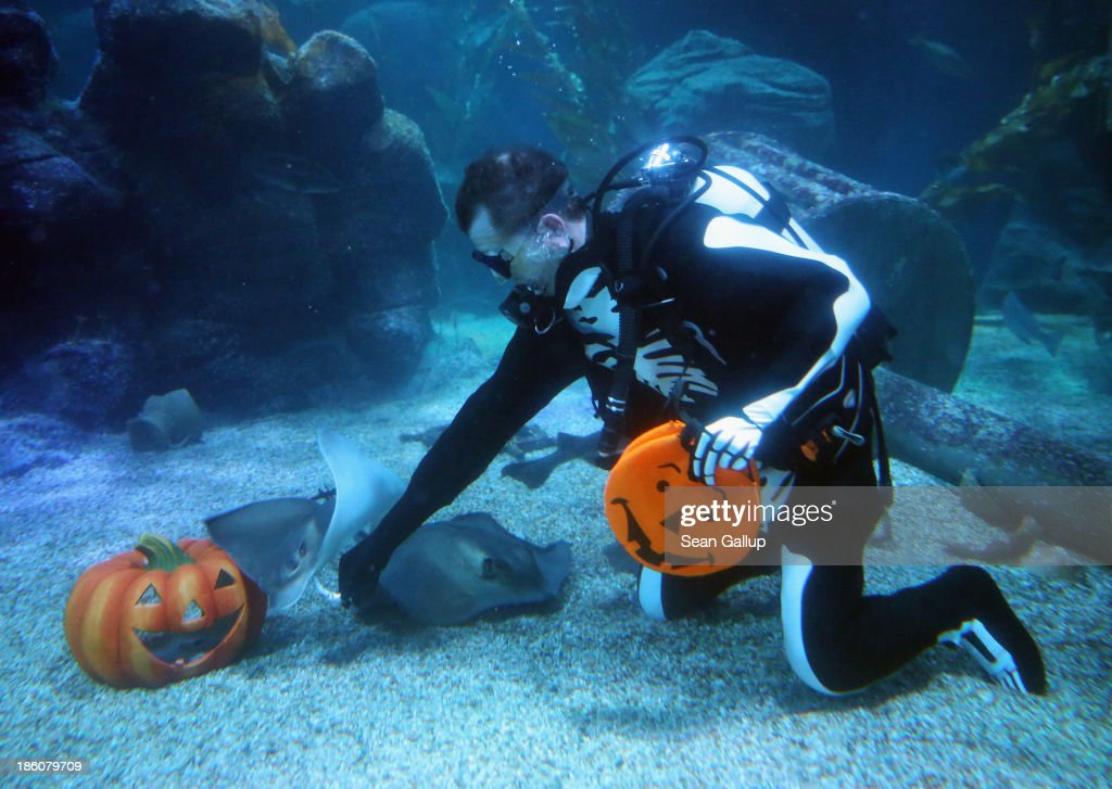 A diver dressed as a skeleton feeds stingrays from plastic Halloween pumpkins in a publicity event at SeaLife on October 28, 2013 in Berlin, Germany. Halloween has become a popualr event in Germany and children across the country will go trick or treating on October 21.