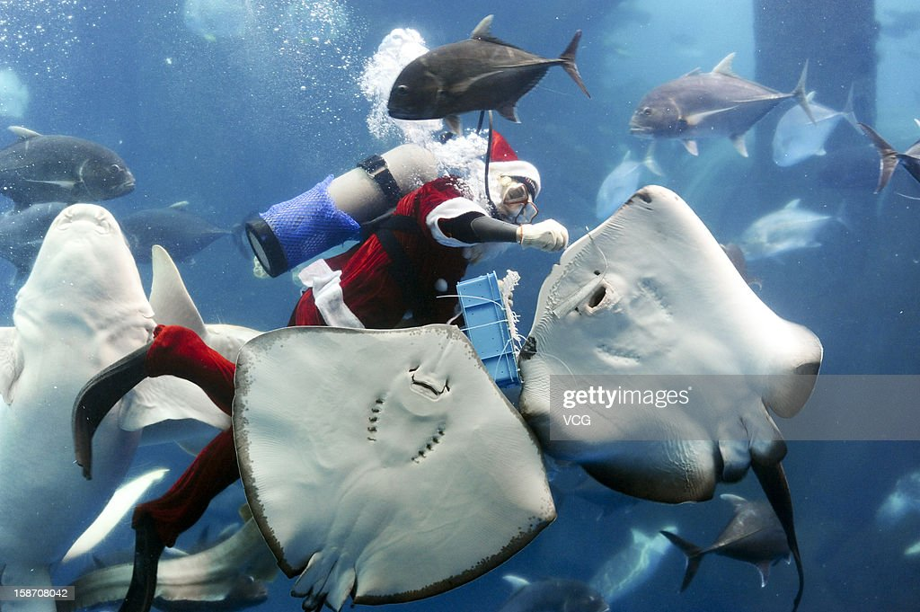 A diver dressed as Santa Claus feeds fish at Hefei Ocean World on December 24, 2012 in Hefei, China. Though Christmas is not officially celebrated in China, the holiday is becoming increasingly popular as Chinese adopt more Western ideas and festivals.