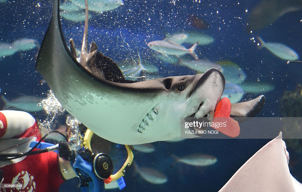 A diver feeds red heart-shaped squid meat to a ray at a feeding session ahead of Valentine's Day at the Sunshine Aquarium in Tokyo on February 13, 2016. The publicity stunt runs until Valentine's Day on February 14. AFP PHOTO / KAZUHIRO NOGI / AFP / KAZUHIRO NOGI