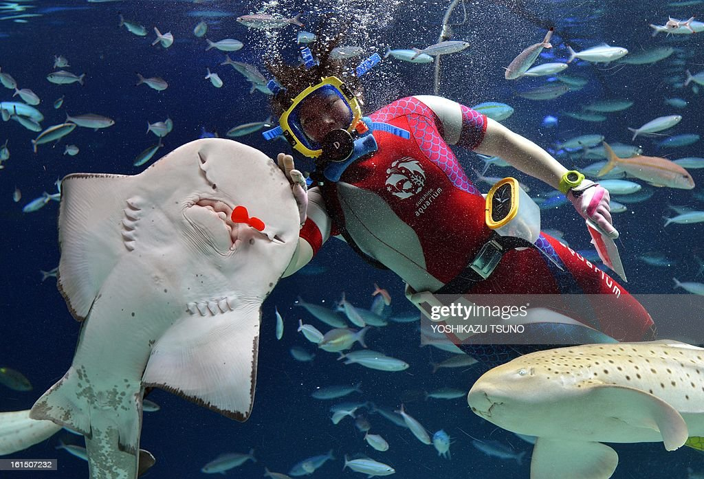 A diver feeds red heart-shaped squid meat to a shark during a feeding show ahead of Valentine's Day at the Sunshine Aquarium in Tokyo on Feburary 12, 2013. The feeding show runs till Feburary 14. AFP PHOTO / Yoshikazu TSUNO