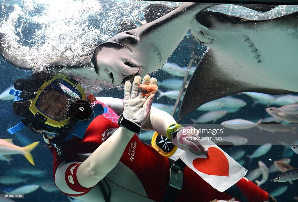 A diver feeds red heart-shaped squid meat to an eagle ray during a feeding show ahead of Valentine's Day at the Sunshine Aquarium in Tokyo on Feburary 12, 2013. The feeding show runs till Feburary 14. AFP PHOTO / Yoshikazu TSUNO