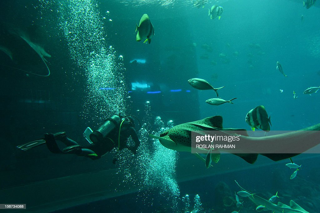 A diver feeds the fish in the open ocean habitat, seen through the world's largest viewing panel, at 36 metres wide by 8.3 metres tall of the South East Asia aquarium, the world's largest oceanarium at Sentosa Resort World marine life park during a media preview in Singapore on November 20, 2012. The aquarium will be home to 100,000 marine animals of over 800 species in 45 million litres of water that will opens to the public on November 22. AFP PHOTO/ROSLAN RAHMAN