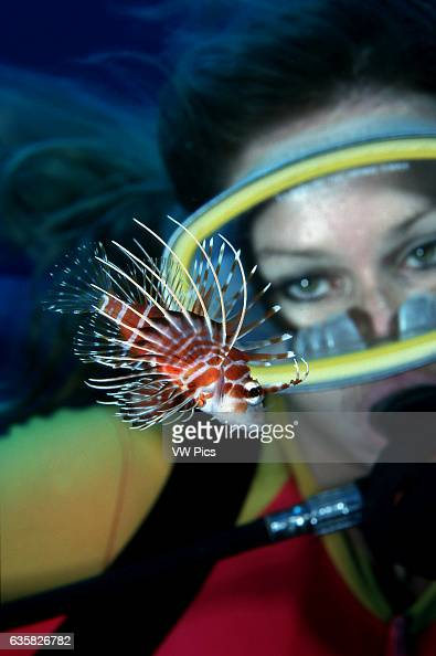 A diver gets a close look at the toxic and endemic Hawaiian turkeyfish Pterois sphex Hawaii