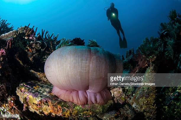 A diver hovers above a magnificent sea anemone in Indonesia.