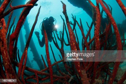 Diver Illuminates Network of Sponges : Stock Photo