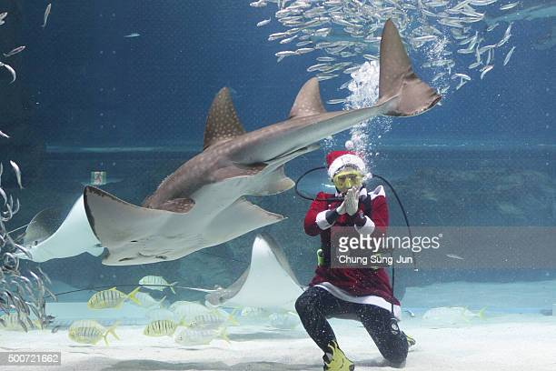 A diver in a Santa Claus costume swims with a shark at the Coex Aquarium on December 10 2015 in Seoul South Korea