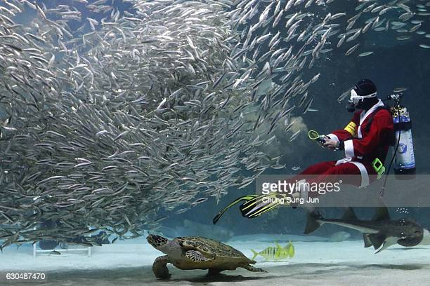 A diver in a Santa Claus costume swims with sardines at the Coex Aquarium on December 24 2016 in Seoul South Korea
