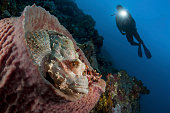 A diver looks on at a tassled scorpionfish lying in a barrel sponge.