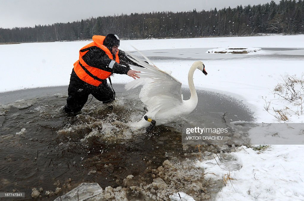 A diver of Belarus emergencies ministry tries to catch a sick swan on lake near the village of Shvaby, some 95 km north of Minsk, on December 6, 2012, to transport the bird to an unfrozen lake near the Belarus capital. AFP PHOTO / VIKTOR DRACHEV