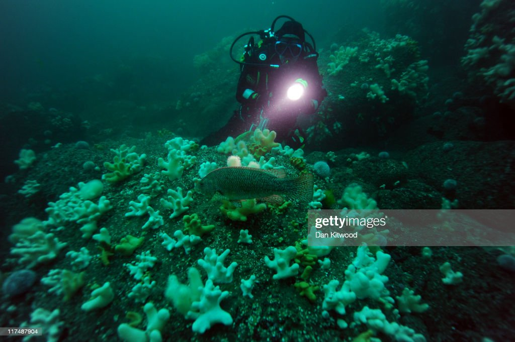 A diver shines a torchlight on a Wrasse on June 25, 2011 off Inner Farne, England. The Farne Islands, which are run by the National Trust, are situated two to three miles off the Northumberland coastline. The archipeligo of 16-28 separate islands (depending on the tide) make the summer home to approximately 100,000 pairs of breeding seabirds including around 36,000 Puffins, 32,000 Guillemots and 2,000 pairs of Arctic Terns. The species of birds which nest in internationally important numbers include Shag, Sandwich Tern and Arctic Tern. The coastline around The Farnes are also the breeding ground to one of Europe's largest Grey Seal colonies with around 4,000 adults giving birth to 1500 pups every year.