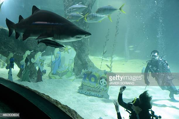 A diver shoots footage of sharks after placing christmas icons inside an aquarium at Madrid's Zoo on December 11 2014 AFP PHOTO/ JAVIER SORIANO