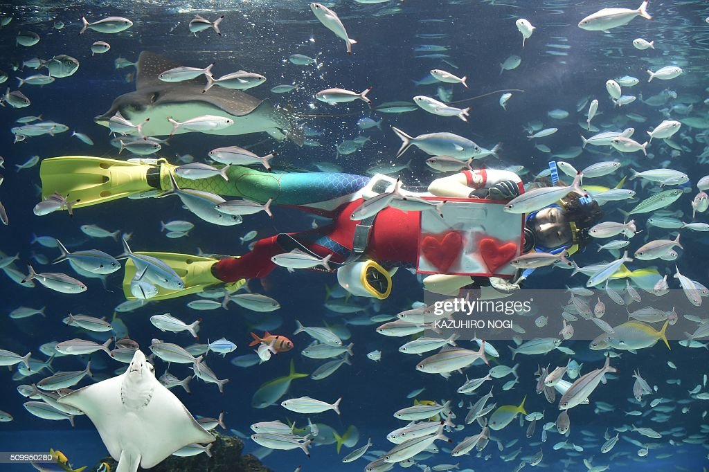 A diver swims with red heart-shaped squid meat during a feeding session ahead of Valentine's Day at the Sunshine Aquarium in Tokyo on February 13, 2016. The publicity stunt runs until Valentine's Day on February 14. AFP PHOTO / KAZUHIRO NOGI / AFP / KAZUHIRO NOGI