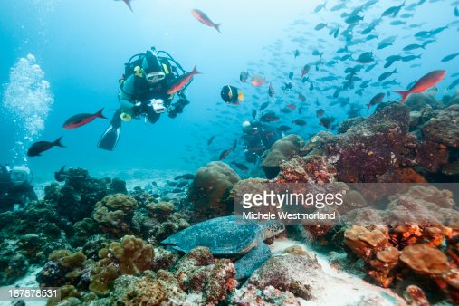 Diver Viewing Green Sea Turtle, Galapagos Islands. : Stock Photo