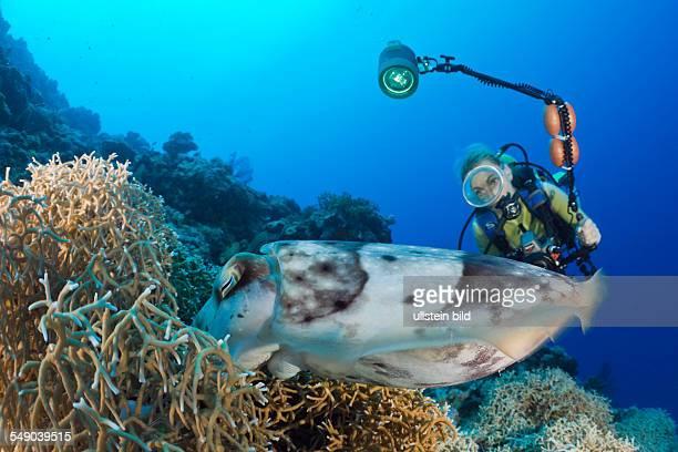 Diver watch Broadclub Cuttlefish laying Eggs Sepia latimanus Micronesia Palau