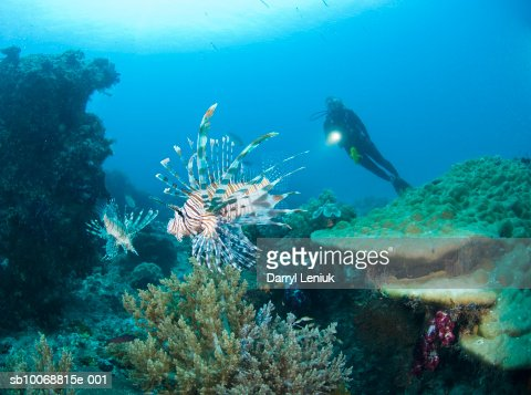 Diver with flashlight swimming above reef looking at Lionfish (Pterois Volitans), underwater view