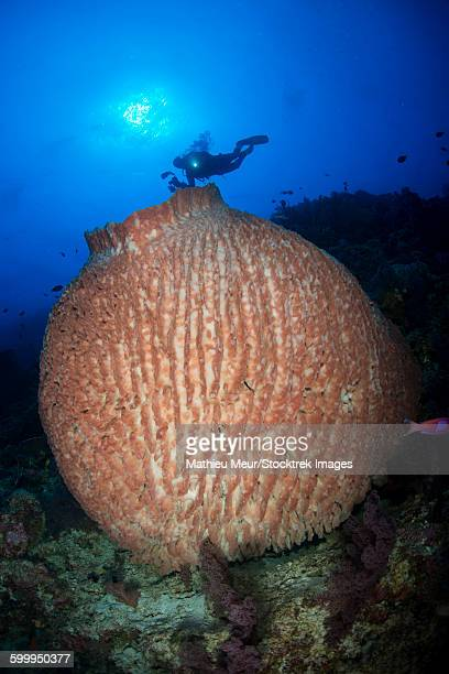 Diver with torchlight over large round pinkish barrel sponge.