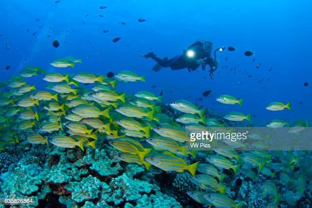 Diver with video camera and schooling bluestripe snapper Lutjanus kasmira Hawaii