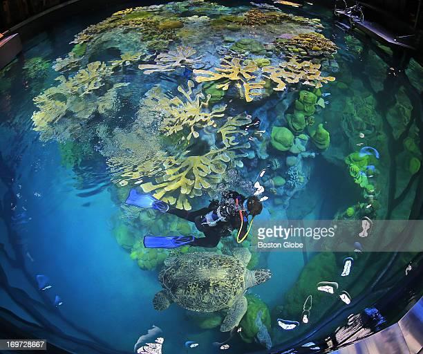 Divers including Doris Morrisette gradually return sea life to the newly refurbished Giant Ocean Tank at the New England Aquarium