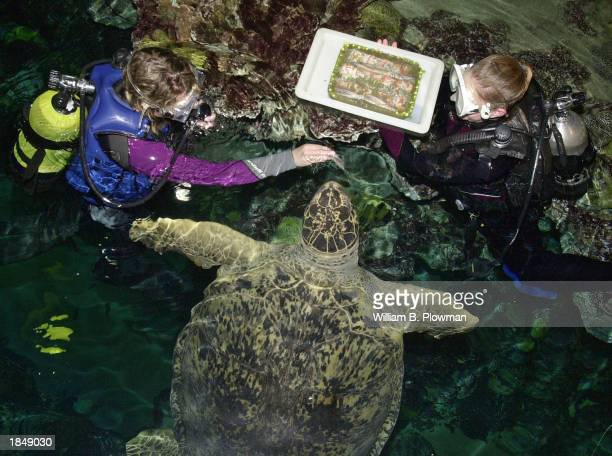 Divers Katarina Peterson and Jen Makela present 600 pound sea turtle Myrtle with a vegetable birthday cake topped with raw squid in celebration of...