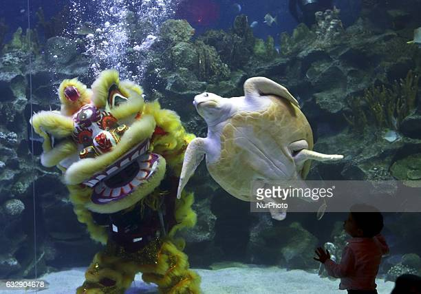 Divers perform a traditional Chinese lion dance underwater at the Aquaria KLCC in Kuala Lumpur as part of the Lunar New Year of the Roaster...