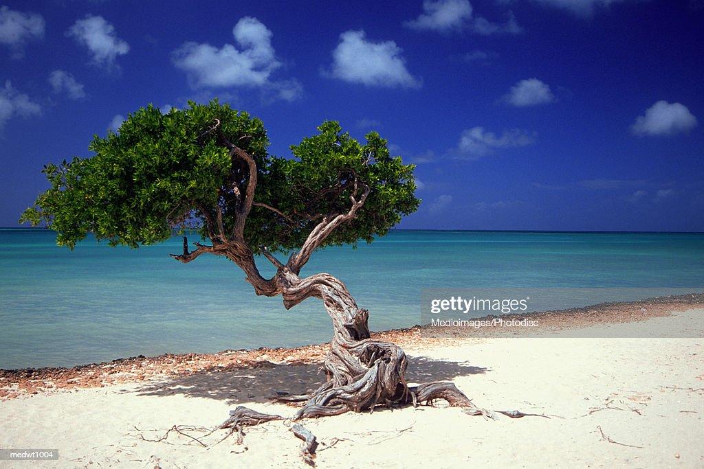 Divi divi tree on beach of caribbean sea in aruba west - Divi beach aruba ...
