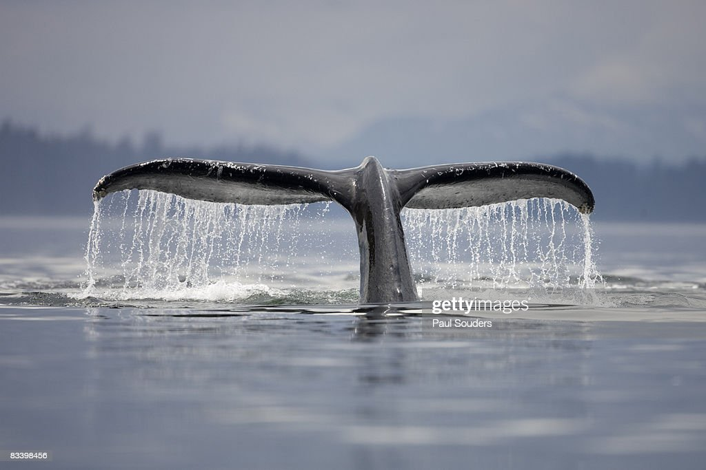 Diving Humpback Whale, Alaska : Stock Photo