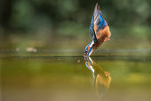 Kingfisher diving in Suffolk, England.