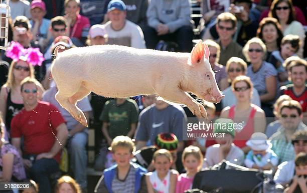 Diving pig 'Babe' sails through the air as she plunges to the water during a display of diving and racing pigs at the Royal Show in Melbourne 20...