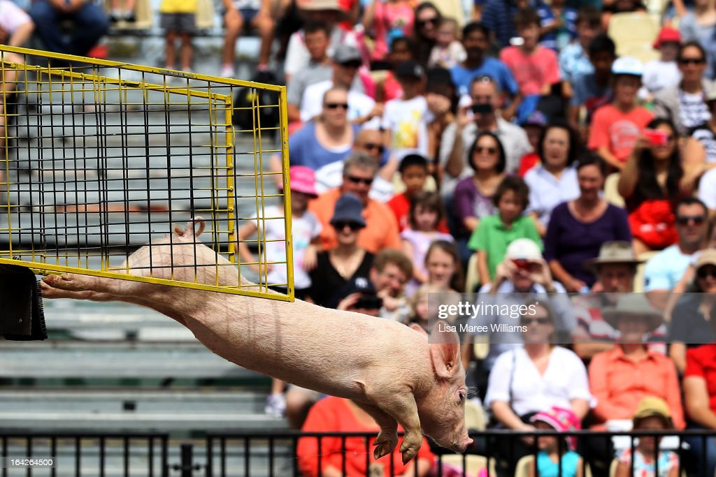 A diving pig performs at the Davidson Plaza during the Sydney Royal Easter Show on March 22, 2013 in Sydney, Australia. Organisers are expecting over 900,000 visitors to the annual agricultural event, the largest of its kind in Australia. The Easter Show marks its 190th show since opening in Paramatta in 1823.