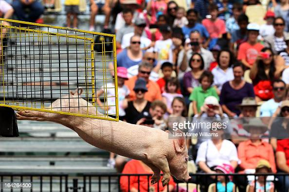 A diving pig performs at the Davidson Plaza during the Sydney Royal Easter Show on March 22 2013 in Sydney Australia Organisers are expecting over...