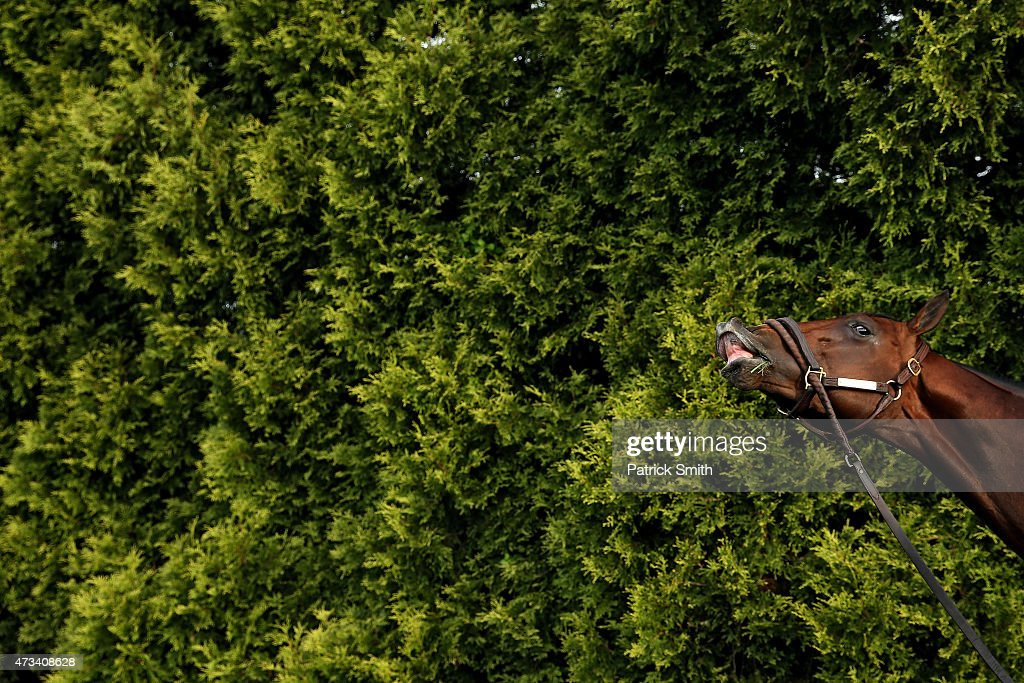 Divining Rod grazes after training on the track for the 140th Preakness Stakes at Pimlico Race Course on May 15 2015 in Baltimore Maryland