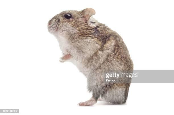 hamster de Djoungarie