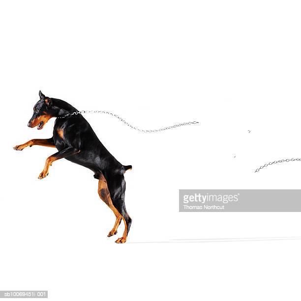 Doberman breaking chain and running away