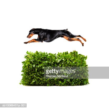 Doberman jumping over hedge, studio shot