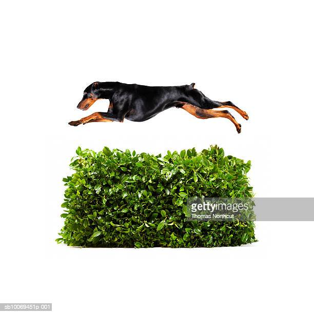 Doberman jumping over hedge, studio shot