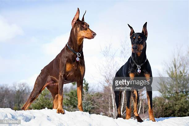Doberman Pinscher Dogs Outdoors in Winter Snow; Strong Intelligent, Noble