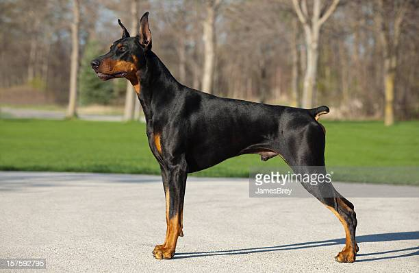 Doberman Pinscher Male Standing; Profile or Stacked Position, Strong, Noble