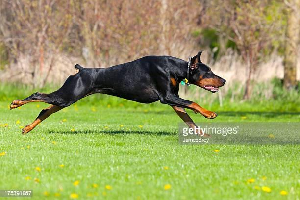 Doberman Pinscher Running at Full Stride