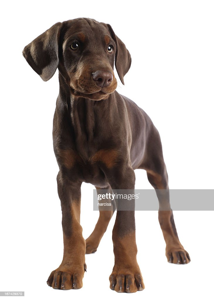 Doberman puppy isolated on white : Stock Photo