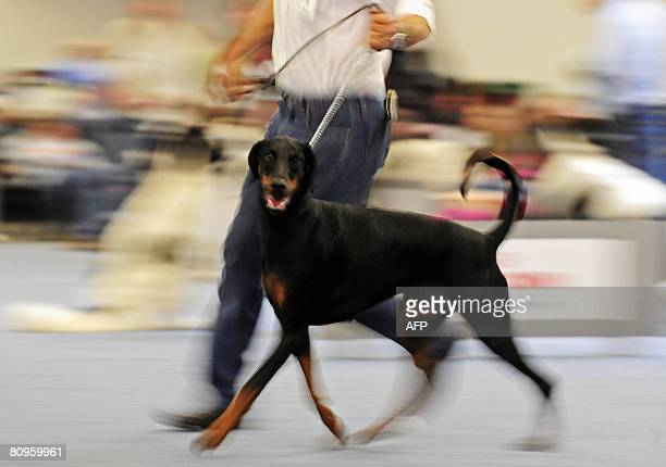 A Doberman takes part in the German Kennel Club Dog Show 2008 in the western German city of Dortmund on May 2 2008 According to the organisers the...