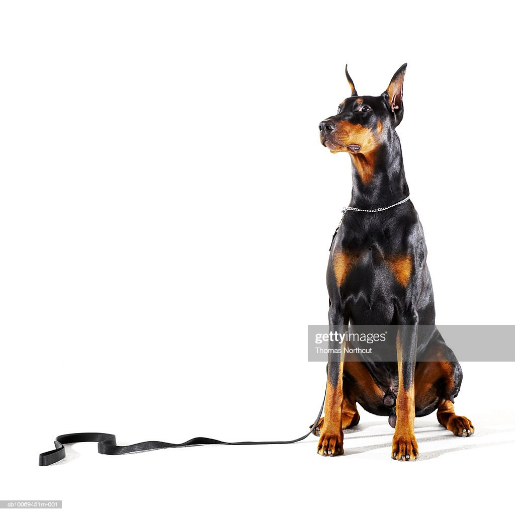 Doberman with leash on white background