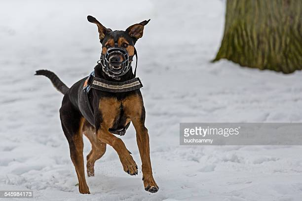 Doberman with muzzle