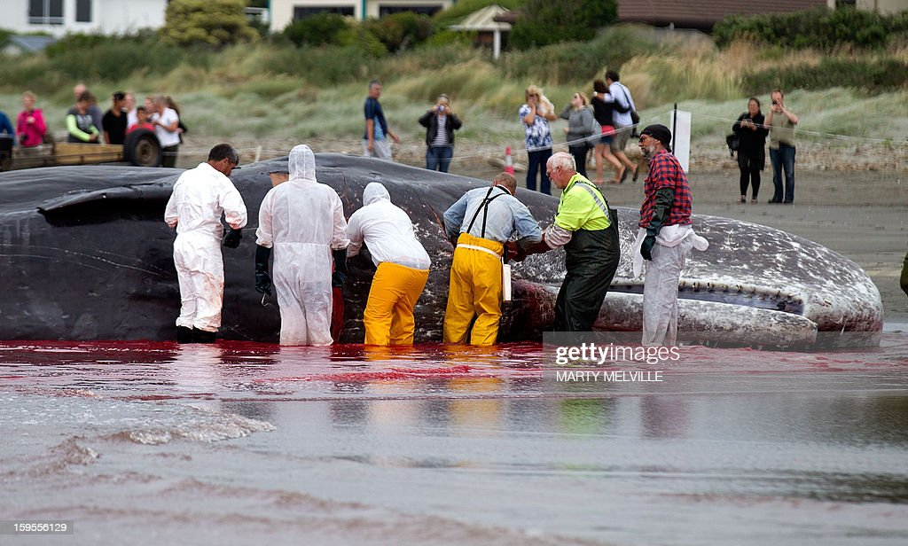 Doc workers and local Iwi, a Maori organisation, cut up and remove chunks from the dead body of a 15 metre sperm whale on a Paraparaumu beach on the Kapiti Coast on January 16, 2013. Hundreds of people gathered to see the whale which was washed up on the beach overnight after it died. AFP PHOTO / MARTY MELVILLE