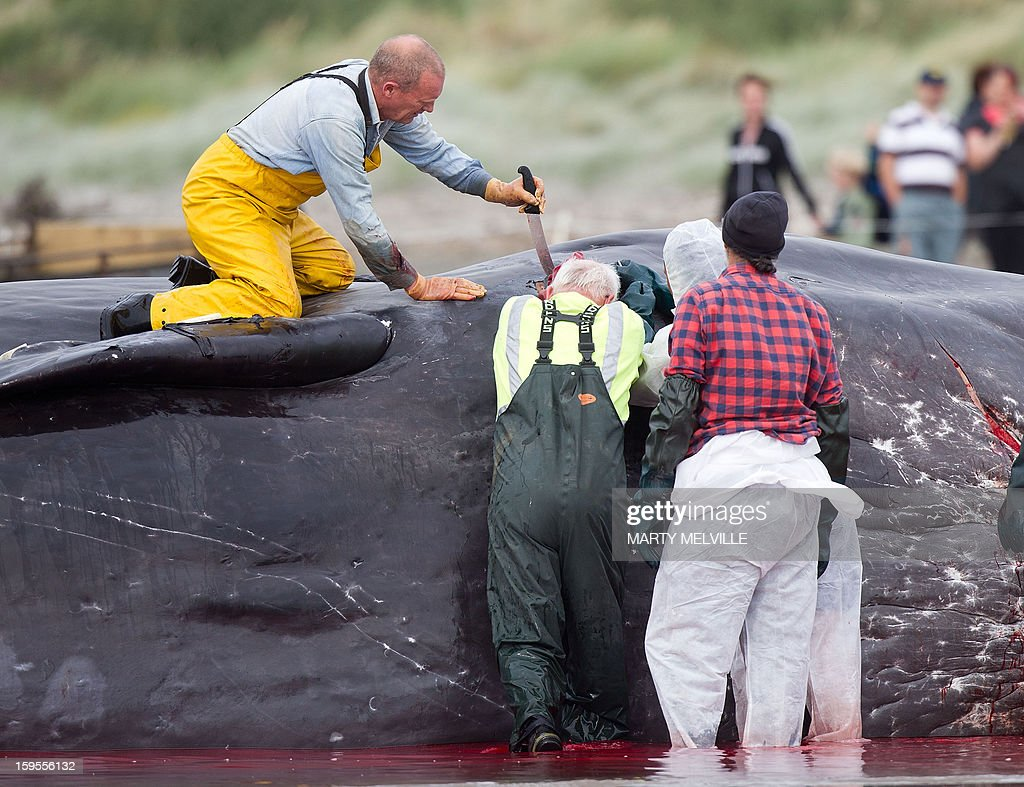 Doc workers and local Iwi, a Maori organisation, cut up and remove chunks from the dead body of a 15 metre sperm whale on a Paraparaumu beach on the Kapiti Coast on January 16, 2013. Hundreds of people gathered to see the whale which was washed up on the beach overnight after it died.