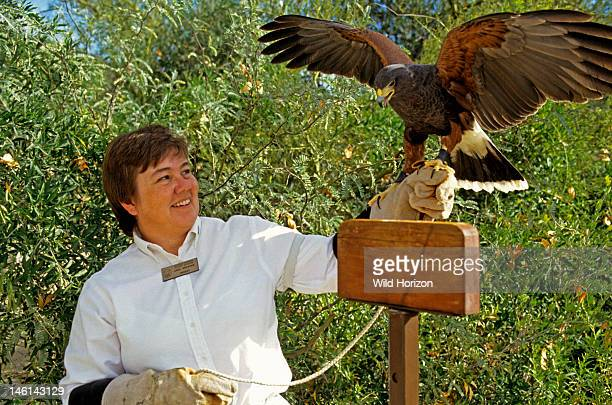 Docent Linda Gregonis with Harris' hawk Parabuteo unicinctus Sonoran Desert ArizonaSonora Desert Museum Tucson Arizona USA Photographed under...